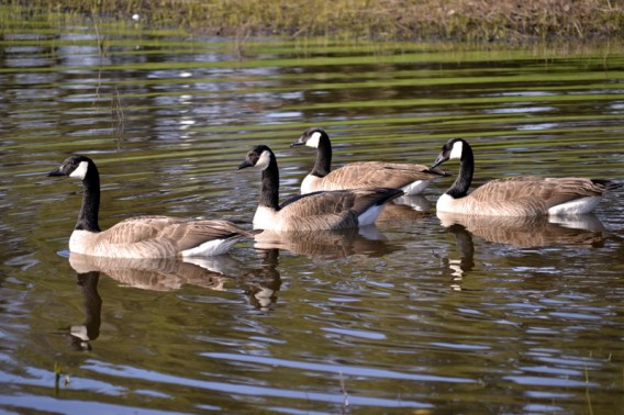 Geese on Lake Lagunita