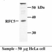 Western-Blot-RFC5-Antibody-NB100-235-