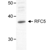 Western-Blot-RFC5-Antibody-NB100-235-Nuclear-extract-50-ug-from-HeLa-cells-Antibody-used-at-1-ug-ml-