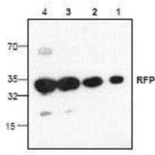 Western-Blot-RFP-Antibody-NBP1-45840-Analysis-with-recombinant-RFP-Lane-1-10-ng-Lane-2-50-ng-Lane-3-250-ng-Lane-4-1-ug-