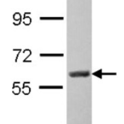 Western-Blot-Monoamine-Oxidase-A-Antibody-NBP2-19379-Sample-30-ug-of-whole-cell-lysate-A-Hep-G2-7-5-SDS-PAGE-gel-diluted-at-1-1000-