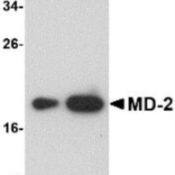 Western-Blot-MD2-Antibody-1A2E3-NBP1-75513-Western-blot-analysis-of-A-25-and-B-125-ng-of-MD-2-recombinant-protein-with-MD-2-antibody-at-1-µg-ml-