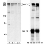 Western-Blot-MDC1-Antibody-NB100-395-Detection-of-Human-MDC1-by-Western-Blot-Samples-A-Nuclear-extract-50-mcg-from-HeLa-cells-B-Whole-cell-lysate-from-HEK-293-cells-Antibodies-A-Affinity