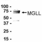 Western-Blot-Monoglyceride-Lipase-Antibody-NB100-2493-Western-Blot-E-coli-derived-fusion-protein-as-test-antigen-Affinity-purified-IgY-dilution-1-2000-Goat-anti-IgY-HRP-dilution-1-1000-Colo