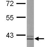Western-Blot-liver-Arginase-Antibody-NBP1-32731-Sample-20-ug-of-whole-cell-lysate-A-mouse-liver-10-SDS-PAGE-antibody-diluted-at-1-50000-