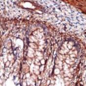 Immunohistochemistry-Indian-Hedgehog-Antibody-EP1192Y-NB110-57122-Immunohistochemical-staining-of-paraffin-embedded-human-fetal-colon-using-anti-IHH-cat-110-57122-