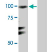 Western-Blot-analysis-of-RGL1-expression-in-transfected-293T-cell-line-by-RGL1-MaxPab-rabbit-polyclonal-antibody-Lane-1-RGL1-transfected-lysate-90-70-KDa-Lane-2-Non-transfected-lysate-
