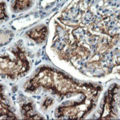 Immunohistochemistry-Paraffin-RGS16-Antibody-1F3-NBP2-01547-Staining-of-paraffin-embedded-Human-Kidney-tissue-using-anti-RGS16-mouse-monoclonal-antibody-