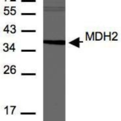 Western-Blot-MDH2-Antibody-NBP1-32259-Analysis-of-MDH2-in-30-ug-of-A293T-whole-cell-lysate-