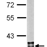 Western-Blot-MDH2-Antibody-NBP1-32259-Sample-20-ug-of-whole-cell-lysate-A-mouse-brain-10-SDS-PAGE-antibody-diluted-at-1-10000-
