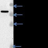 Western-Blot-MDH2-Antibody-NBP1-32259-Analysis-of-MDH2-in-HeLa-whole-cell-lysate-Image-courtesy-of-anonymous-customer-product-review-