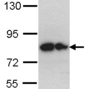 Western-Blot-analysis-using-anti-Glypican-1-Polyclonal-Antibody-on-the-following-cells-30-ug-of-whole-cell-lysate-A-Hep-G2-cell-lysate-B-Molt-4-cell-lysate-Primary-antibody-PA5-28055-diluted-a