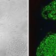 TRA-1-60-Antibody-DyLight-488-Mouse-anti-Human-Stemgent-09-0068