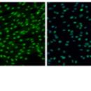 Myf5-mRNA-Human-Stemgent-05-0031
