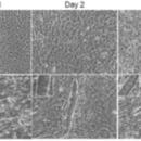 MyoD-mRNA-Human-Stemgent-05-0029