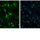 Myog-mRNA-Human-Stemgent-05-0032