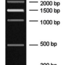 300-2500bp-DNA-Marker-Ready-to-Use6-DNA-fragments-300-500-1000-2000-2500bp-Bio-Basic-GM342