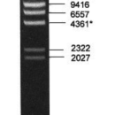 Lamda-DNA-HindIII-Marker-Ready-to-use7-DNA-fragments-23130-9416-6557-4361-2322-2027-564-Bio-Basic-M104R-1
