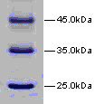 14-4-116kDa-Wide-Range-Protein-Molecular-Weight-Marker-Unstained14-band-14-4-18-4-25-35-45-66-2-116kDa-Bio-Basic-BSM0431
