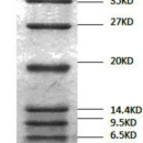 4-1-66kDa-Low-Range-Protein-Molecular-Weight-Marker-Ready-to-use9-Protein-bands-4-1-6-5-9-5-14-4-20-27-35-45-66kDa-Bio-Basic-BM201-30UL-10LOADING-