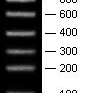 100-1000bp-Low-Range-RNA-Molecular-Weight-Marker-7-bands-100-200-300-400-600-800-1000bp-Bio-Basic-BSM1831
