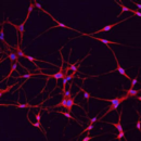 Human-Adult-Melanocytes-5x106-cells-Zen-Bio-Inc-MEL-F