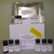 N-Terminal-Pro-Brain-Natriuretic-Peptide-NT-ProBNP-ELISA-Kit-Mouse-KAMIYA-BIOMEDICAL-COMPANY-KT-23774
