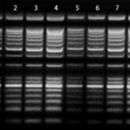 25-100-bp-Mixed-DNA-Ladder-25-2-000-bp-250-µl-150-ng-µl-Bioneer-D-1020