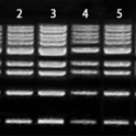 1-kb-DNA-Ladder-500-10-200-bp-2-500-µl-500-µl-x-5-Bioneer-D-1041