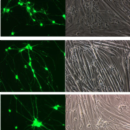 Motor-Neurons-GFP-HTS-Kit-Neuromics-mMN7205-HTS
