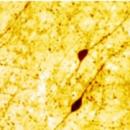 VIP-Vasoactive-Intestinal-Peptide-Antibody-ImmunoStar-20077