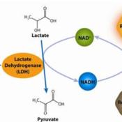CytoScan-fluoro-Cytotoxicity-Assay