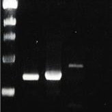 ToothPick-PCR