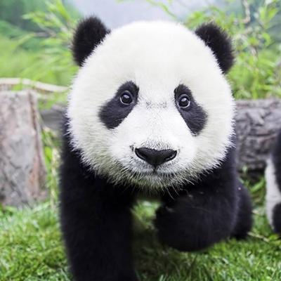 A lovely panda
