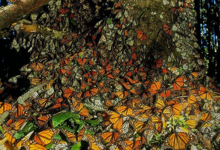 5. Santuarios de la mariposa Monarca, Michoacán y Estado de México