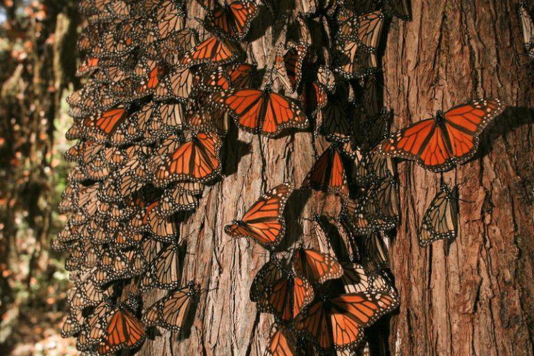 20-santuario-de-la-mariposa-monarca-michoacan