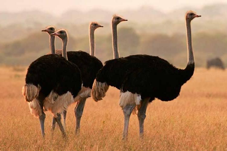 14-es-cierto-que-crian-buenos-avestruces