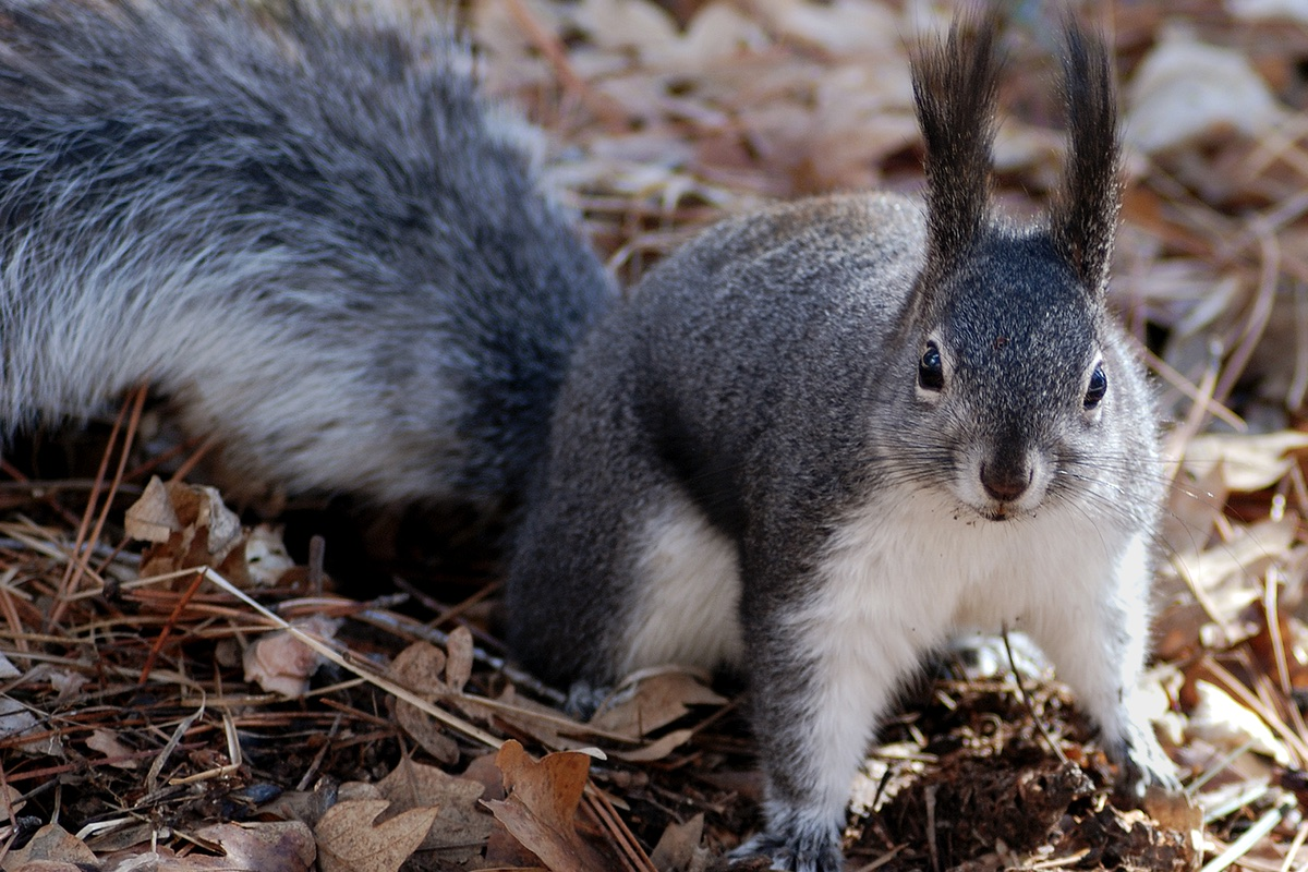 Albert's Squirrel are common Bandelier National Monument.