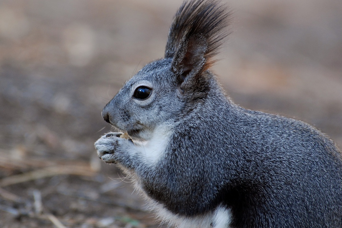 Albert's Squirrel in Bandelier National Monument.