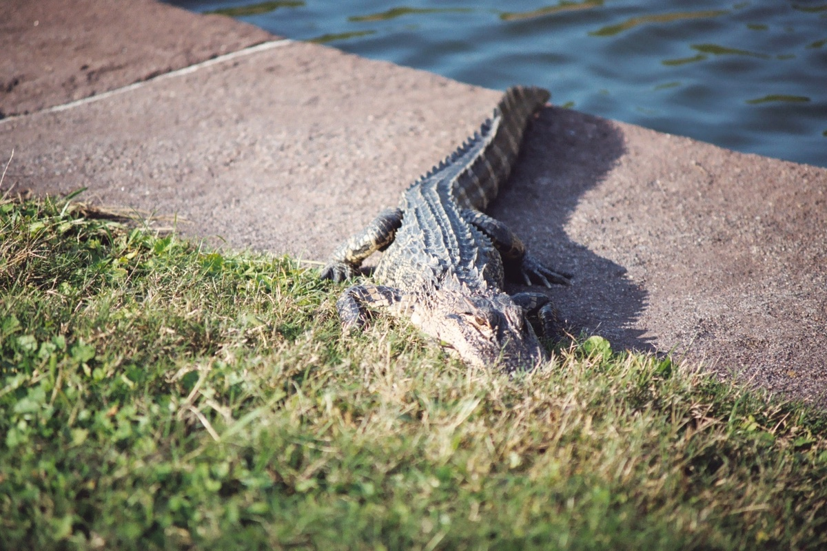 Alligator in Fort Pulaski National Monument.