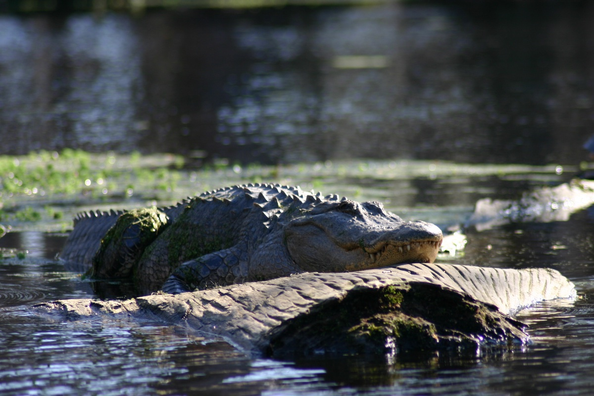 Alligator in Merchants Millpond State Park, North Carolina.