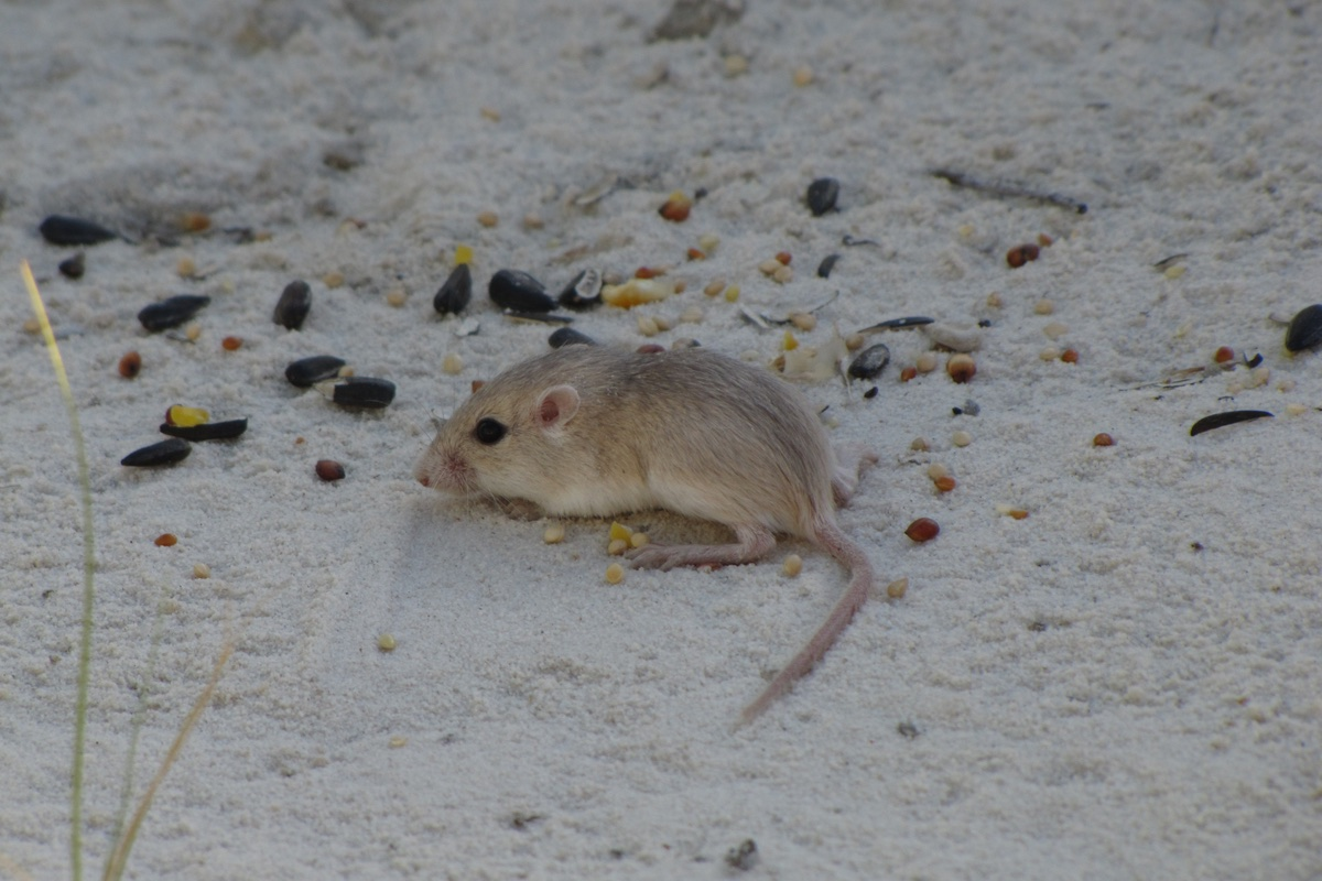 Apache Pocket Mouse in White Sands National Monument.