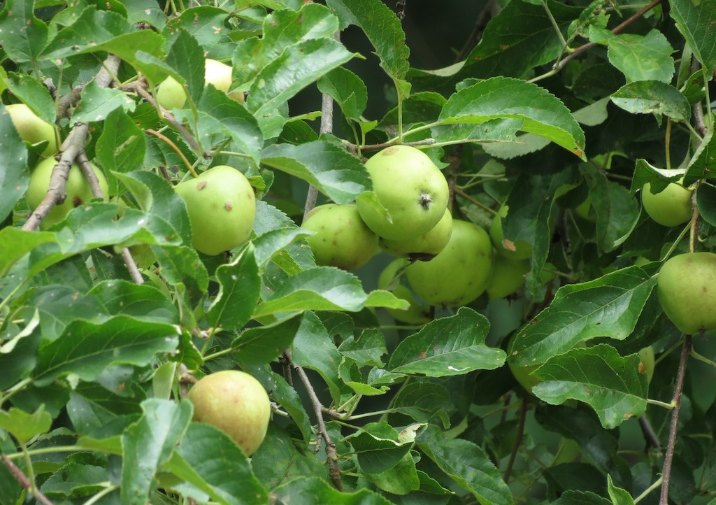 Apple Tree in Cook Forest State Park in Pennsylvania.