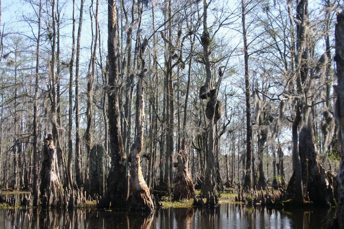 Bald Cypress grove in Merchants Millpond State Park, North Carolina.