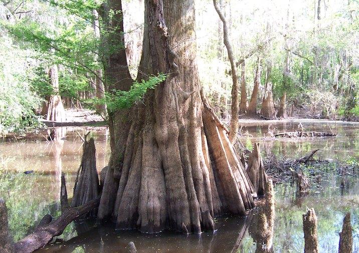 Cypress in Congaree National Park, South Carolina.