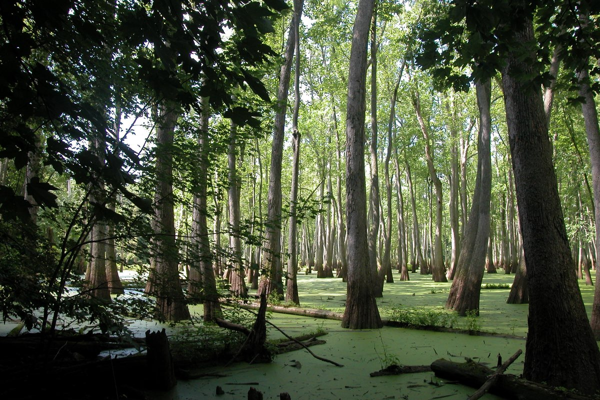 Bald Cypress trees (Taxodium distichum) in Cache River State Recreation Area.