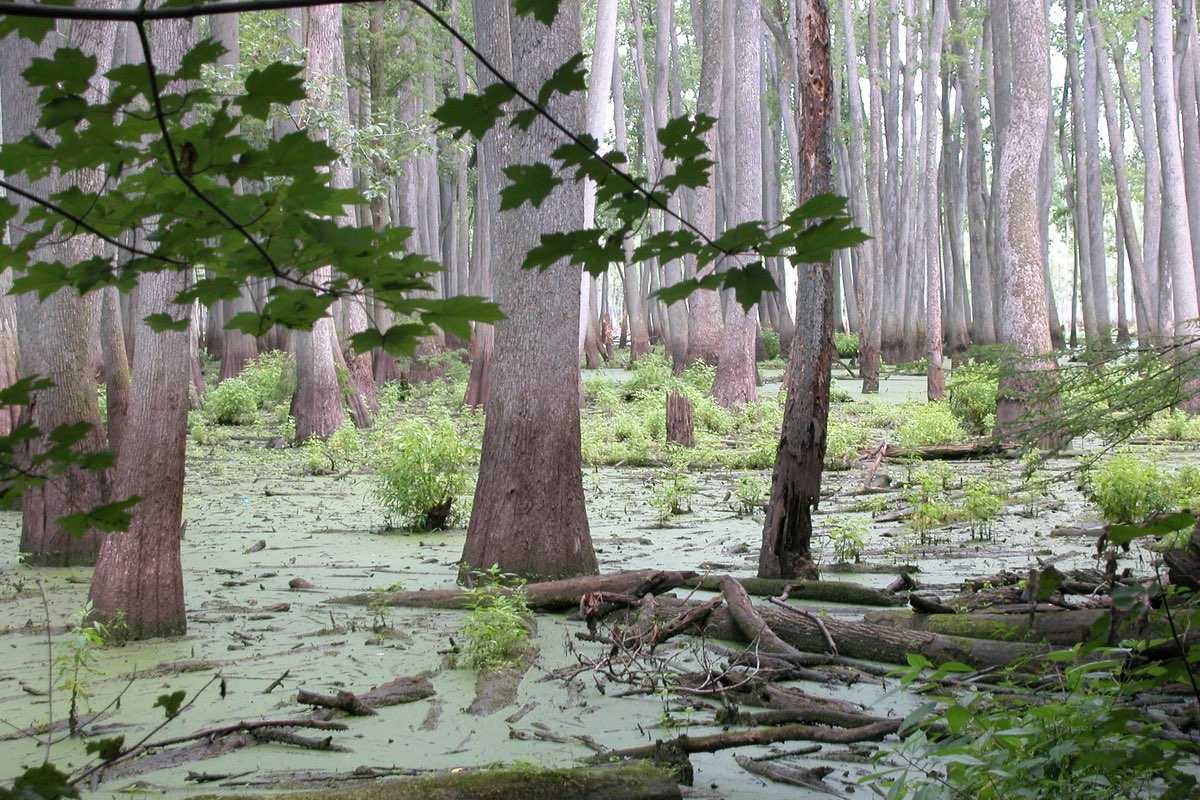 Beautiful Bald Cypress trees (Taxodium distichum) in Cache River State Recreation Area.