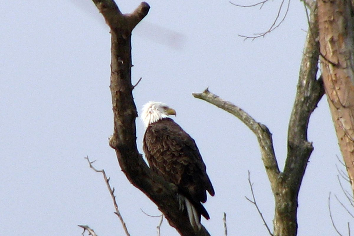 Bald Eagle in Cuyahoga Valley National Park.