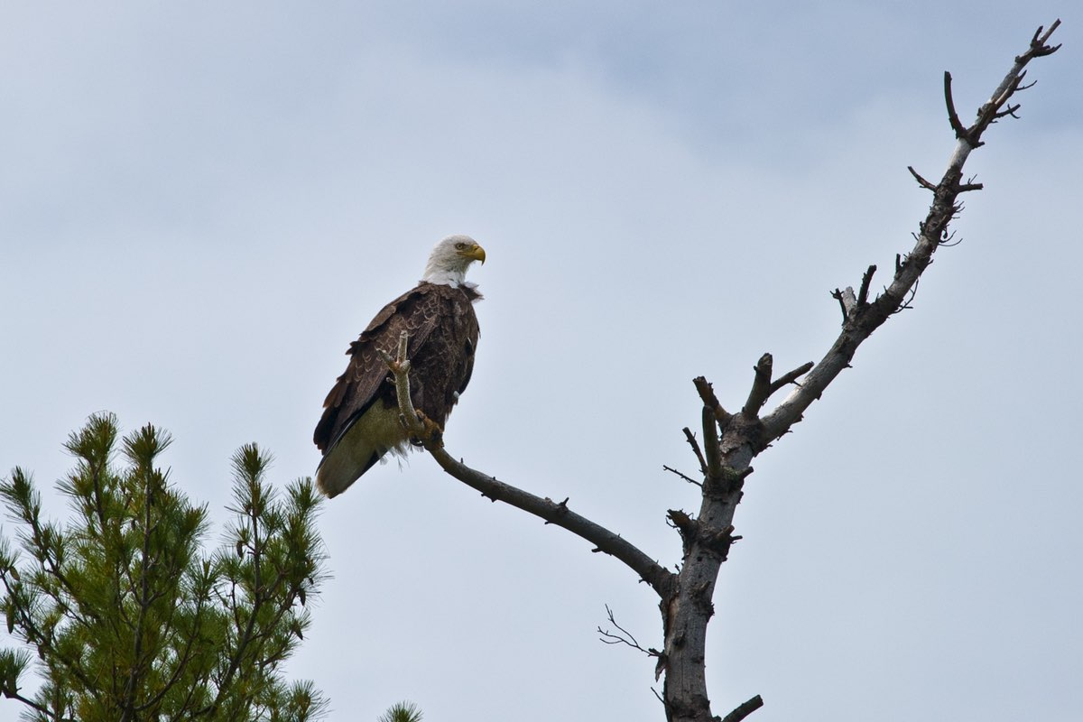 Bald Eagle near the Rainy Lake Visitor Center in Voyageurs National Park.