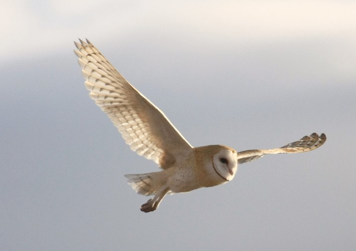 Barn Owl (Tyto alba) in flight.